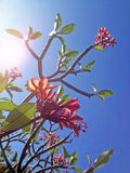 Red Frangipani and branches Royalty Free Stock Images