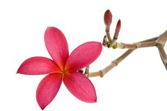 Red Frangipani flower. Isolated on white background Stock Photography
