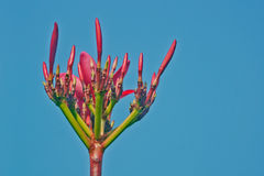 Red Frangipani flower bud. Silhouetted against the blue sky background with red frangipani bud, exceptionally bright Royalty Free Stock Photo