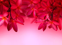 Red Frangipani flower on pink background Royalty Free Stock Images