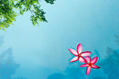 Red Frangipani flower in pool spa, soft focus and blur Stock Photo