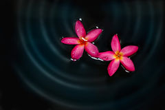 Red Frangipani flower in water spa, soft focus and blur Royalty Free Stock Image