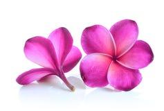 Red frangipani flower  on white background Stock Image