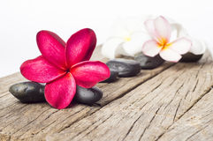 Red Frangipani Flowers Royalty Free Stock Photography