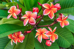 Frangipani flowers. Royalty Free Stock Photo