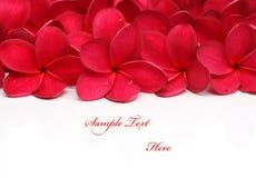 Red Frangipani Plumeria flower. On white background royalty free stock image