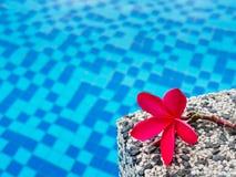Red frangipani (plumeria) flowers pagoda tree on swimming pool Royalty Free Stock Images