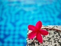 Red frangipani (plumeria) flowers pagoda tree on swimming pool. Red frangipani (plumeria) flowers or pagoda tree on swimming pool Royalty Free Stock Image