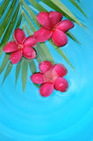 Red frangipani in the pool Royalty Free Stock Photography