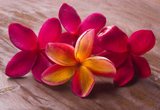 Red frangipani Stock Photo