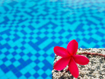 Red frangipani (plumeria) flowers pagoda tree on swimming pool Royalty Free Stock Photography