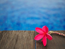 Red frangipani (plumeria) flowers pagoda tree on swimming pool Stock Photography