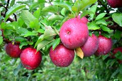 Red Free Apples Closeup Royalty Free Stock Photos