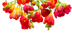 Red  freesia flowers Royalty Free Stock Photography