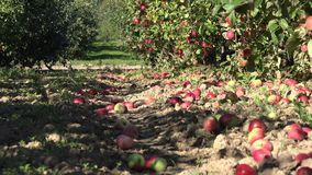 Red fresh apple lie on the ground in garden at harvest time. 4K stock video footage