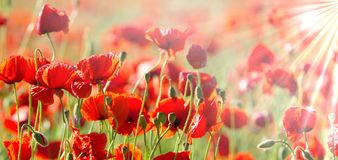 Poppies in the sunshine. Red, fresh and beautiful field poppies illuminated by the warm spring sun royalty free stock photography