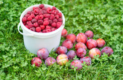 Red, fresh berry raspberry and plums in a bucket and plums again Royalty Free Stock Photos