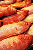 Red fresh fish Stock Image