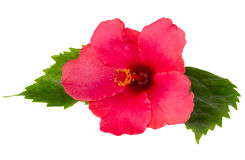 Red  fresh  hibiscus  flower with green leaves Stock Photography
