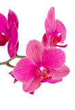 Orchid on white Stock Image