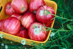 Red fresh organic apples in the basket on the green grass.Harves. T season concept.Close-up view Stock Photo