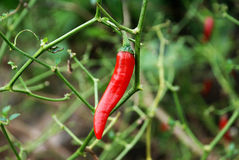 Red fresh pepper on tree Royalty Free Stock Images