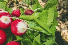 Red fresh radish on wooden surface. Natural healthy food concept Royalty Free Stock Photography