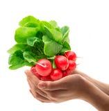 Red fresh radishes. Fresh radishes on white background in hands Royalty Free Stock Photo
