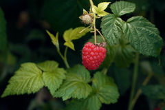 Red fresh raspberries Stock Images