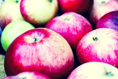 Red fresh ripe bulk apples. In a pile in the autumn garden stock photography