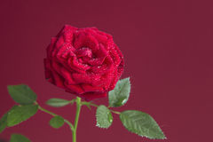Red fresh rose flower isolated on a red background Stock Photography