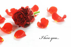 Red fresh rose and petals. On white background. Space for your text royalty free stock image