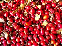 Red fresh rosehips stock photography