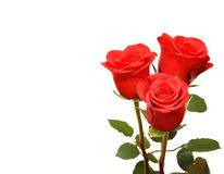 Red fresh roses Stock Images