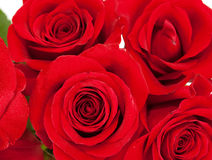 Red fresh roses background vivid color. Stock Images