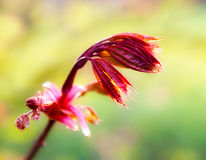 Red fresh spring leaves Stock Photography