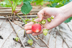 Red fresh strawberries Royalty Free Stock Images