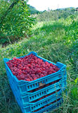 Red, fresh and sweet raspberries in the field Stock Image