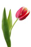 Red fresh tulip Stock Photography