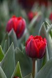 Red fresh tulip flowers with green leaves Royalty Free Stock Image