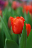 Red fresh tulip flowers with green leaves Royalty Free Stock Photos