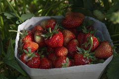 Red freshly picked strawberries in a white paper box standing on a green strawberry field stock images
