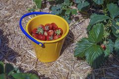 Red freshly picked strawberries in a yellow plastic bucket standing on a green strawberry field stock photos