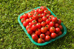 Red freshly picked tomatoes. The red freshly picked tomatoes  on Royalty Free Stock Photos