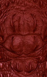 Red Freshwater crocodile red skin texture Stock Image