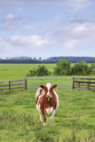 Red Friesian-Holstein cow in a greem meadow Royalty Free Stock Photo