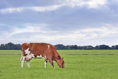 Red Friesian-Holstein cow in a greem meadow Stock Photo