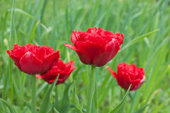 Red fringed double tulips Stock Images