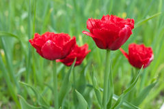 Red fringed double tulips Royalty Free Stock Photo
