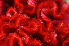 Red fringed flower Royalty Free Stock Photo